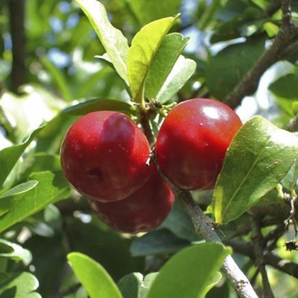 Natural active Acerola