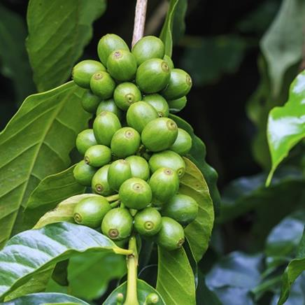 Natural active Green Coffee