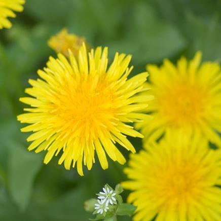 Natural active Dandelion